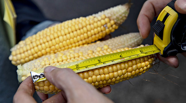 Ears of corn being measured
