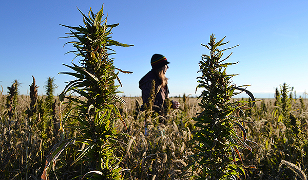 USDA General Counsel Opinion: States Can't Prohibit Hemp