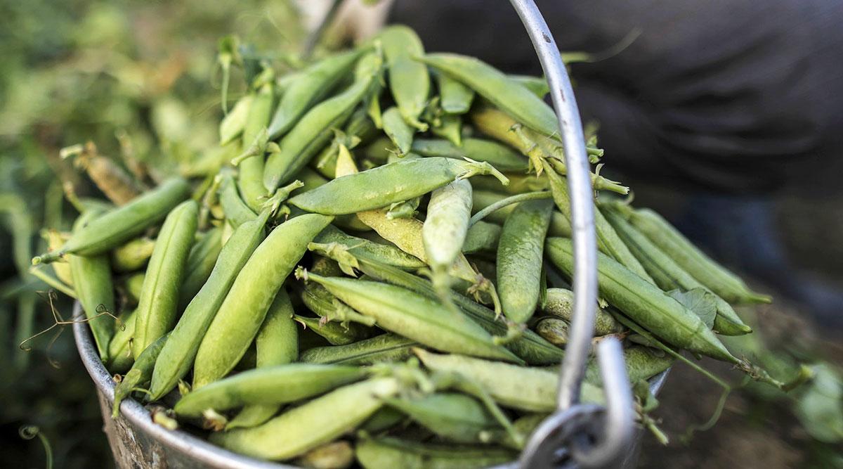 Cargill peas