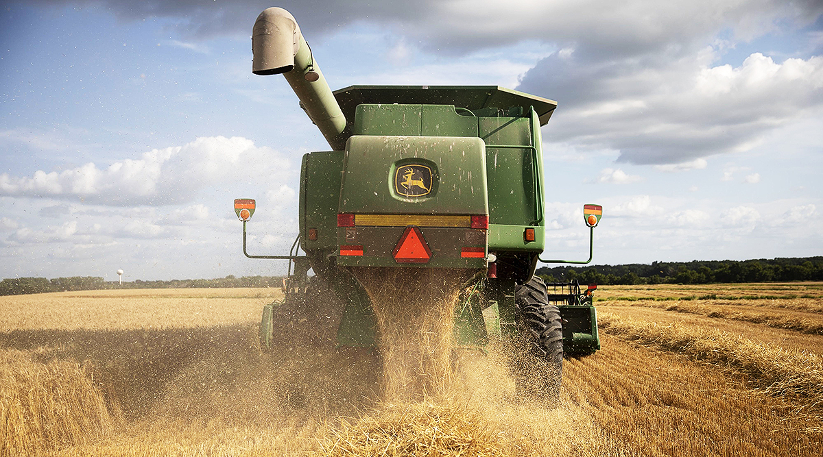 Wheat is harvested with a combine harvester