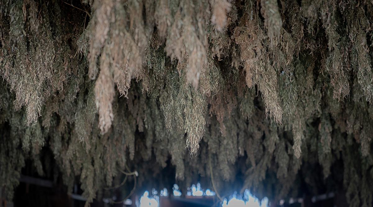 Hemp plant in Kentucky