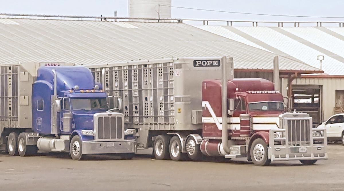A truck hauling cattle