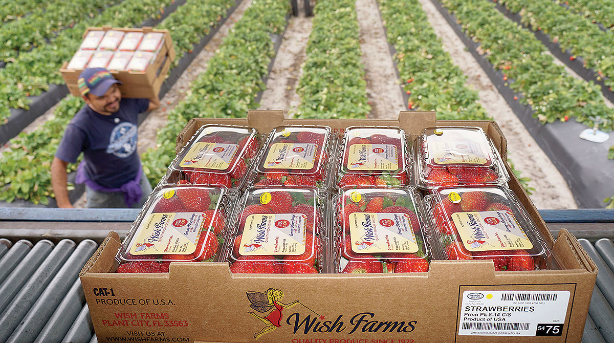 Strawberries are loaded onto a truck