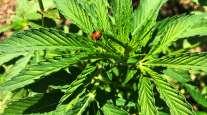 Ladybug on hemp plant