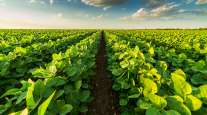 Green field of soybeans