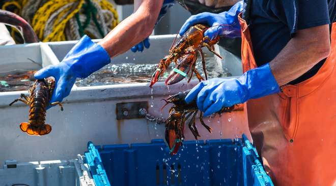 Sorting through live lobster on boat