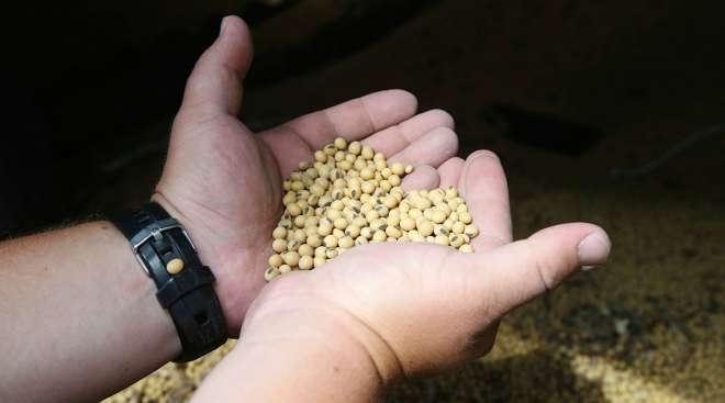 Soybeans in farmers' hands
